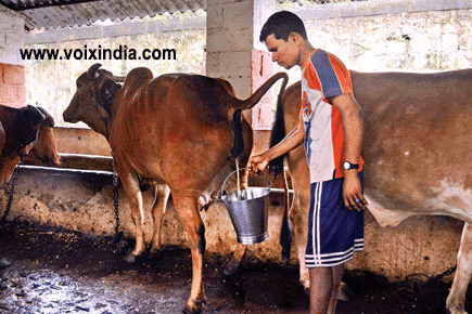 Man collecting cow urine and cow dung-voixindia